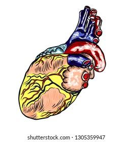 Human heart anatomically hand drawn. Cartoonish flash tattoo design engraving. Vector.