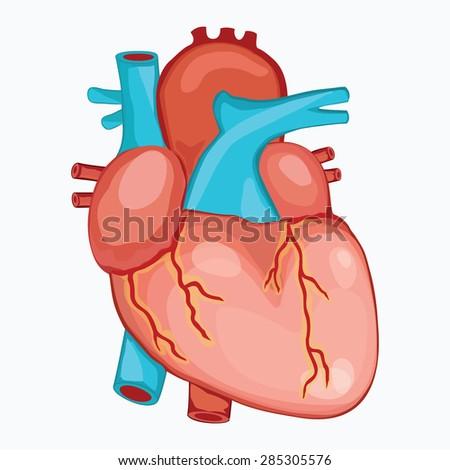 Human Heart Anatomy Illustration Vector Stock Vector Royalty Free