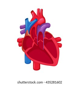 Human heart anatomy. Medical science vector illustration. Internal organ: atrium and ventricle, aorta, pulmonary trunk, valve and vein. Education illustration