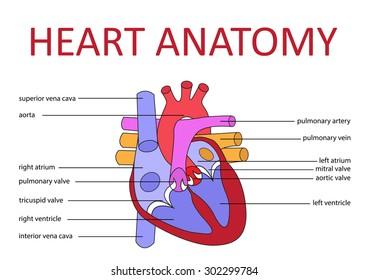 Human heart anatomy schematic diagram vector stock vector 302299784 human heart anatomy schematic diagram vector illustration ccuart Choice Image