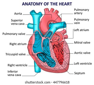 Schematic of the human heart online schematic diagram similar images stock photos vectors of human heart muscle rh shutterstock com diagrams of the human heart diagrams of the human heart ccuart Images