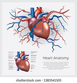 Human Heart Anatomy Vector Illustration