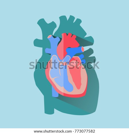Human Heart Cross Section Anatomical Diagram Stock Vector Royalty