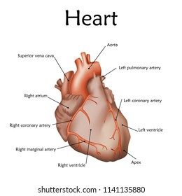 Human heart with a description. Anatomy realistic vector illustration. White background.