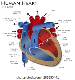 Diagram of the human heart stock images royalty free images human heart diagram ccuart Image collections