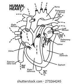 Medical Heart Illustration Cross Section Vector Images