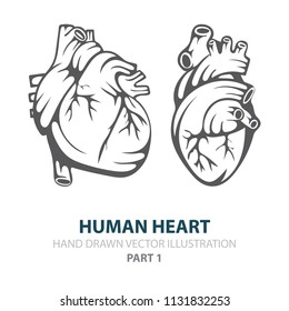 Human heart. Human heart hand drawn illustrations set. Heart in engraving style. Realistic human heart sketch drawing.