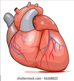 Human Heart. Illustration isolated on white background.