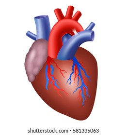 Human heart isolated on white background. Vector illustration