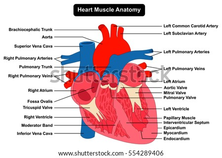 Human Heart Muscle Structure Anatomy Infographic Stock Vector ...