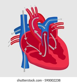 the human heart, the study of anatomy, the path of blood flow in the heart, aorta inlet outlet, flat design, vector image