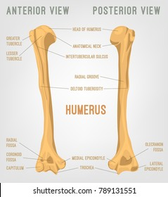 Human humerus bones image. Vector illustration isolated on a white background useful for creating medical and scientific materials. Anatomy, medicine and biology concept.
