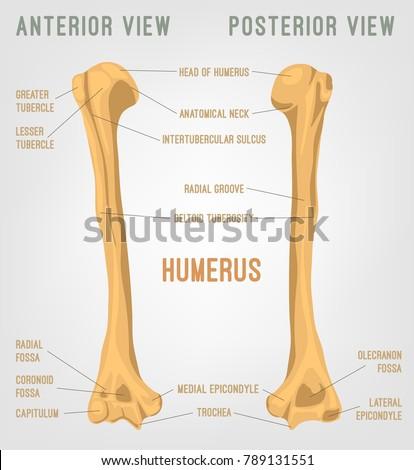 Human Humerus Bones Image Vector Illustration Stock Vector (Royalty ...