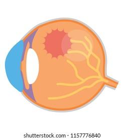 Human inner eye or eye anatomy flat icon design