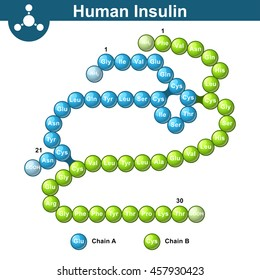 Human insulin hormone molecule, two peptide chains, 3d illustration of  protein, vector isolated on white background, eps 10