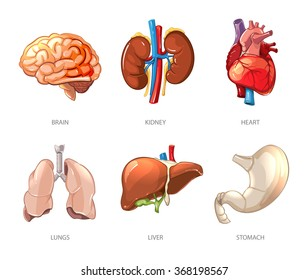 Human internal organs anatomy in cartoon vector style. Brain and kidney, liver and lung, stomach and heart illustration