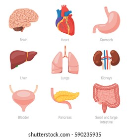 Human internal organs icon set. Vector illustration in cartoon style isolated on white background
