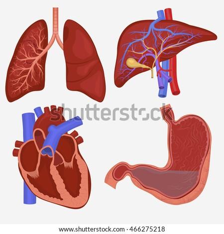 Human Internal Organs Set Lungs Liver Stock Vector Royalty Free