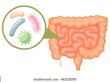 Human intestine microflora. Digestive tract or alimentary canal showing bacteria,  germs or virus cells. Gut flora encouraged by pro biotic products and foods