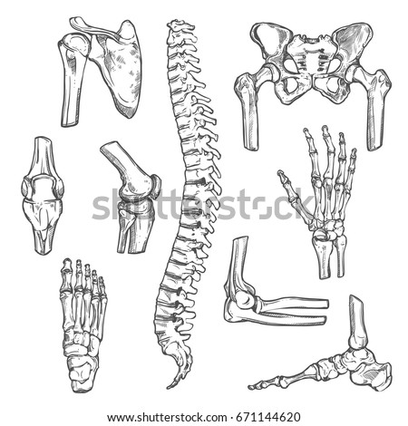 Human Joints Body Parts Bones Sketch Stock Vector (Royalty Free ...