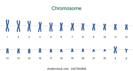 Human karyotype, Autosomes and sex chromosome