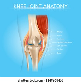 Human Knee Joint Anatomy Realistic Vector Medical Scheme with Muscles, Bones, Joint Capsule Front View Anatomical Illustration. Human Musculoskeletal System Elements Detailed Poster with Text Labels