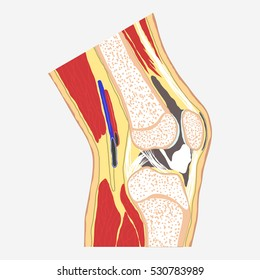 Human knee joint, medical body anatomy, orthopedic clinic, leg diagram. Vector