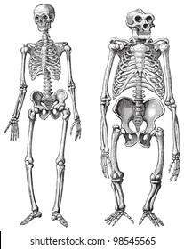 Human (left) and Gorilla (right) skeleton / vintage illustrations from Die Frau als Hausarztin 1911
