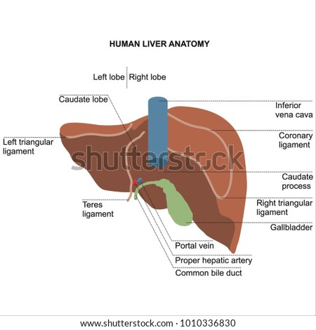 Human Liver Anatomy Diagram Student Dissertation Stock Vector