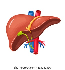 Human liver anatomy. Medical science vector illustration. Internal organ: gallbladder, aorta and portal vein, hepatic duct. Education illustration