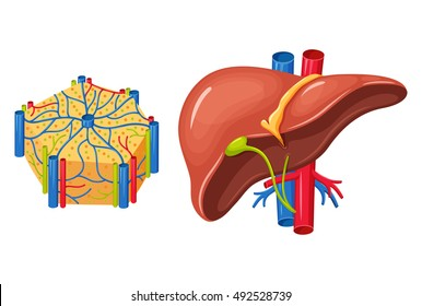 Human liver anatomy. Medical science vector illustration. Internal organ: gallbladder, aorta and portal vein, hepatic duct, hepatocytes and canaliculi, artery, bile duct.