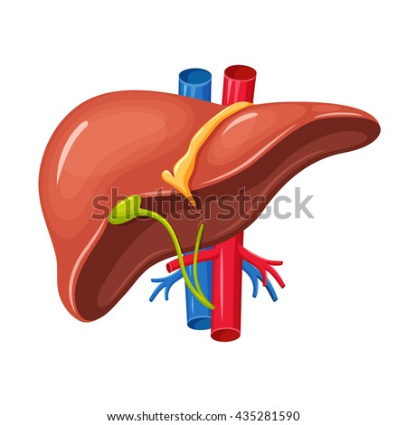 Human Liver Anatomy Medical Science Vector Stock Vector (Royalty ...