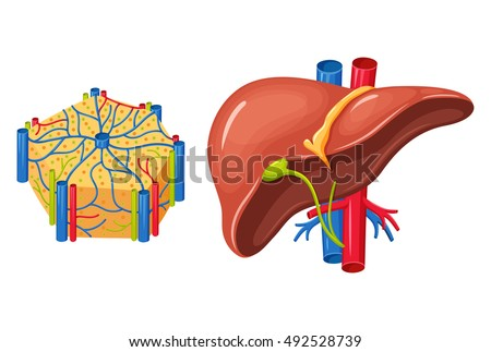 Human Liver Anatomy Medical Science Vector Stock Vector Royalty
