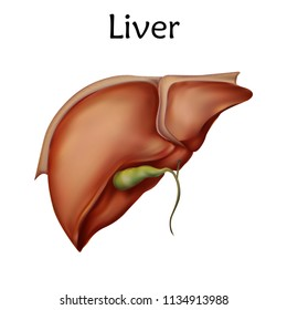 Human liver. Anatomy vector realistic illustration. White background.