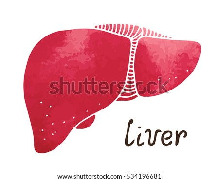 Human Liver Gallbladder Anatomy Illustration Watercolor Stock Vector