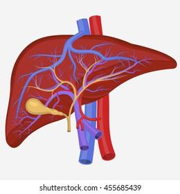 Human liver internal section, digestive system illustration, medical anatomical diagram. Vector