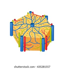 Human liver lobes anatomy. Medical science vector illustration. Internal organ: hepatocytes and canaliculi, hepatic artery, bile duct. Education illustration