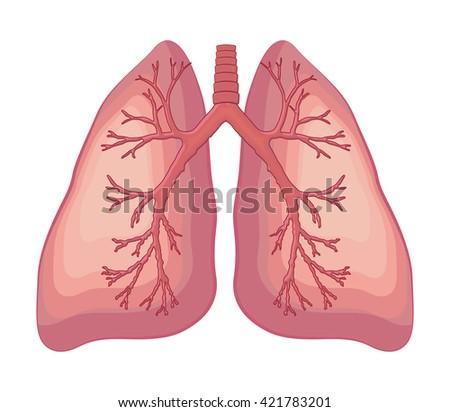 Human Lung Anatomy Diagram Stock Vector (Royalty Free) 421783201 ...