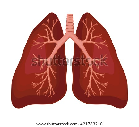 Human Lung Anatomy Diagram Stock Vector Royalty Free 421783210