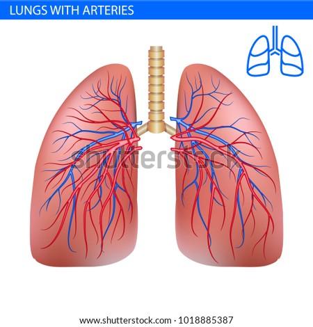 Human Lungs Anatomy Artery Circulatory System Stock Vector (Royalty ...