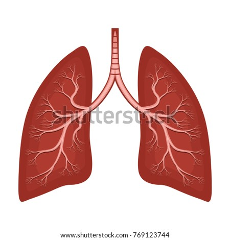 Human Lungs Anatomy Diagram Illness Respiratory Stock Vector