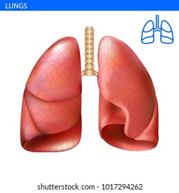 Human lungs anatomy realistic illustration front view in detail. Lunge exercise. Right and left lung with trachea. Healthy lung. Respiratory system.