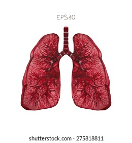 Human lungs, vector.