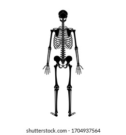 Human man skeleton anatomy in back view. Vector isolated flat illustration of skull and bones. Halloween, medical, educational or science banner