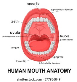 Human mouth images stock photos vectors shutterstock human mouth anatomy open mouth with explaining ccuart Choice Image