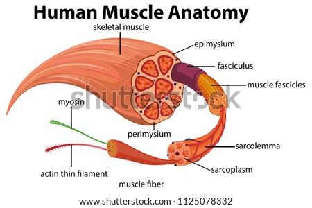 human muscle anatomy diagram illustration