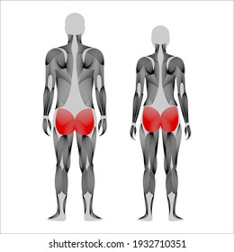 Human muscular system anatomical poster. Gluteus medius and gluteus maximus. Structure of muscle groups of women and men in comparison. Bodybuilding, strong body concept. Isolated vector illustration.
