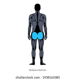 Human muscular system anatomical poster. Gluteus medius and gluteus maximus in male body. Structure of muscle groups in back view. Bodybuilding, strong body concept. Isolated vector illustration.