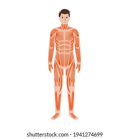 Human muscular system anatomical poster. Structure of muscle groups and ligaments of men in front view. Arms, legs and chest. Workout and strong male body concept. Medical flat vector illustration.