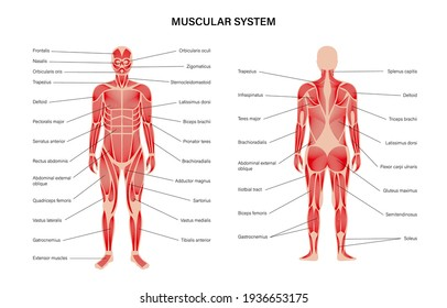 Human muscular system infographic anatomical poster. Structure of muscle groups of men in front and back view. Biceps, trapezius and triceps. Deltoid and adductor, bodybuilding vector illustration